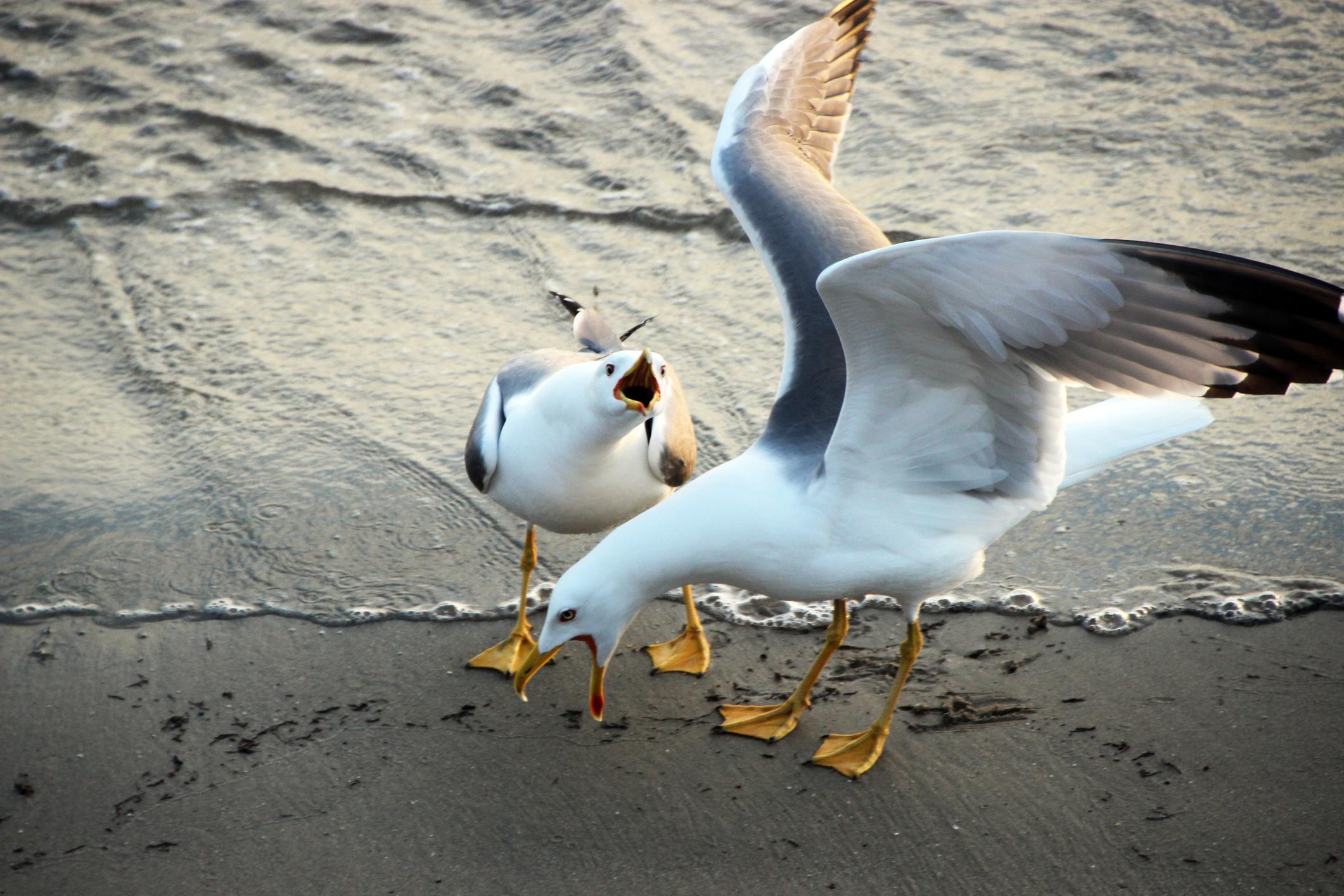 4-seagull-chihuahua-1563820248970.jpg