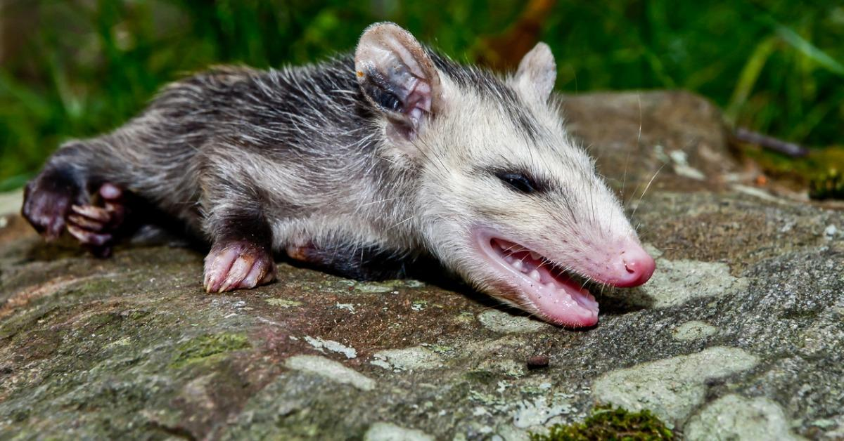 opossum-playing-dead-picture-id930956150-1539956905950-1539959004235.jpg