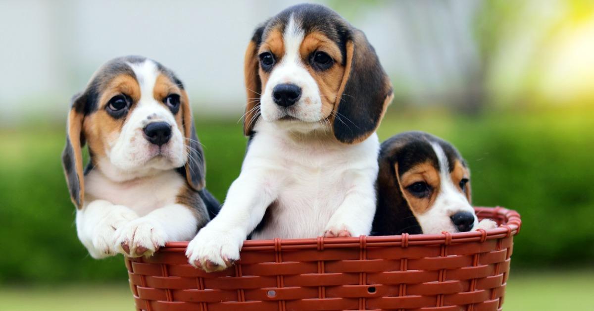 cute-beagles-in-basket-picture-id936521966-1542213090852-1542213093033.jpg