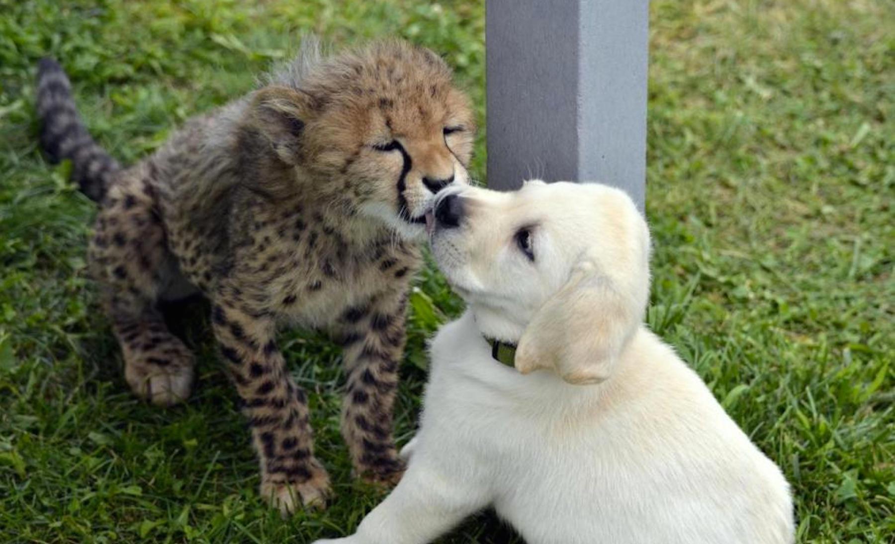 cheetah-1498572303278.jpg