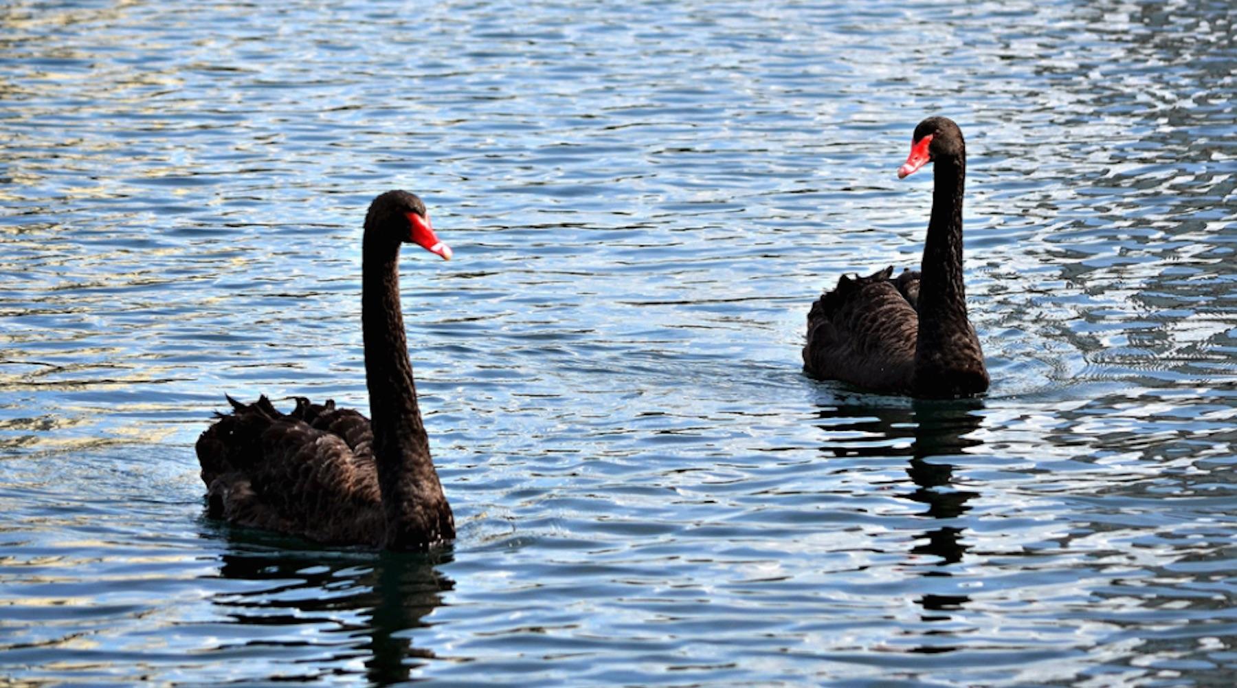 swan-1502996174401-1502996178027.jpg