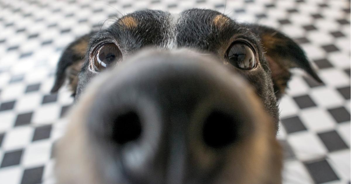 playful-dog-face-black-white-and-brown-with-nose-close-to-the-camera-picture-id836716796-1535135582157-1535135584260.jpg