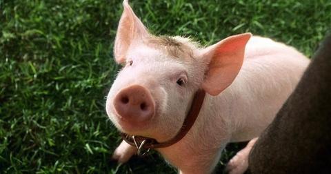 babe-the-pig-1555533731269.jpg