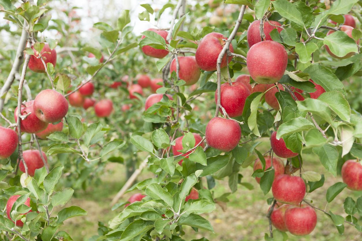 apples-1539195400560-1539195402636.jpg