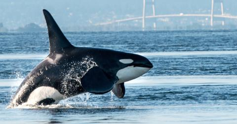 featured-orcas-1600096296719.jpg