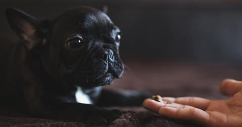 cute-french-puppy-receiving-some-food-from-a-humans-hand-picture-id1013162602-1561485814403.jpg