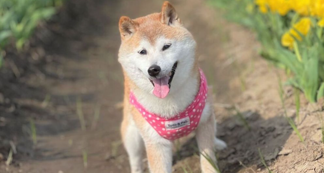 Kabosu the Doge Dog