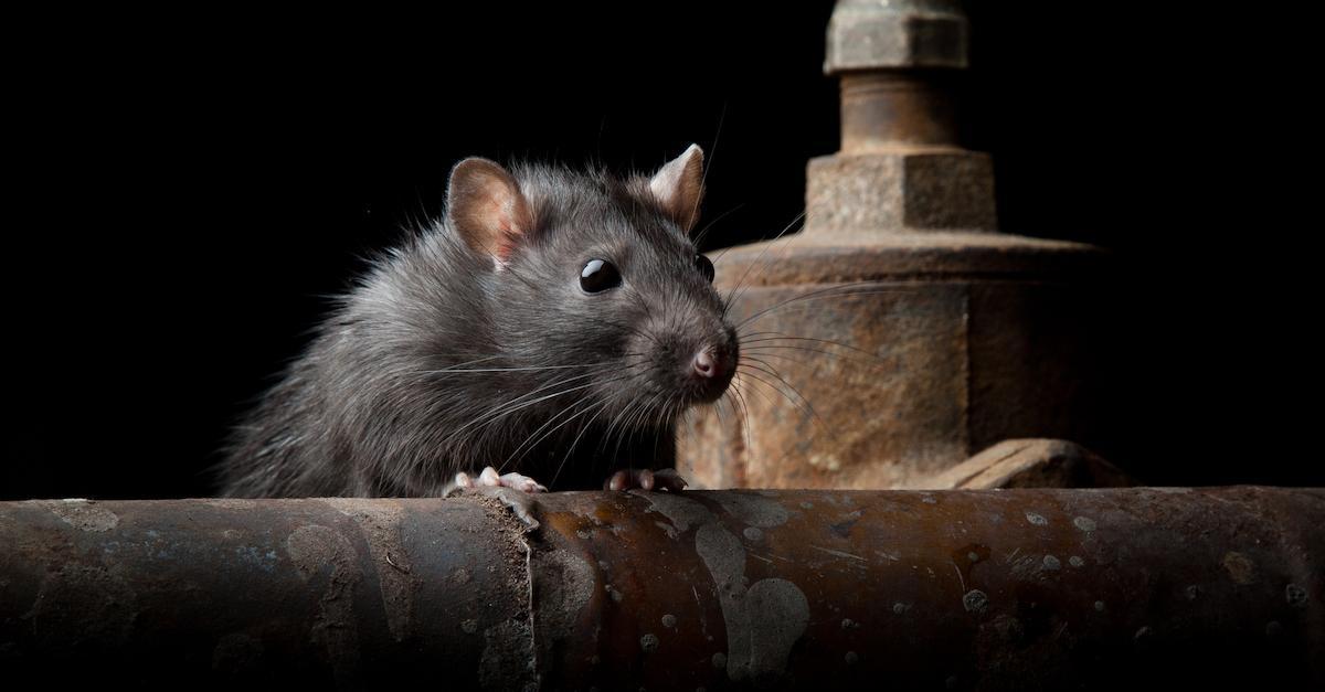 true-urban-legend-nyc-sewer-rat-1539638518400-1539638520679.jpg