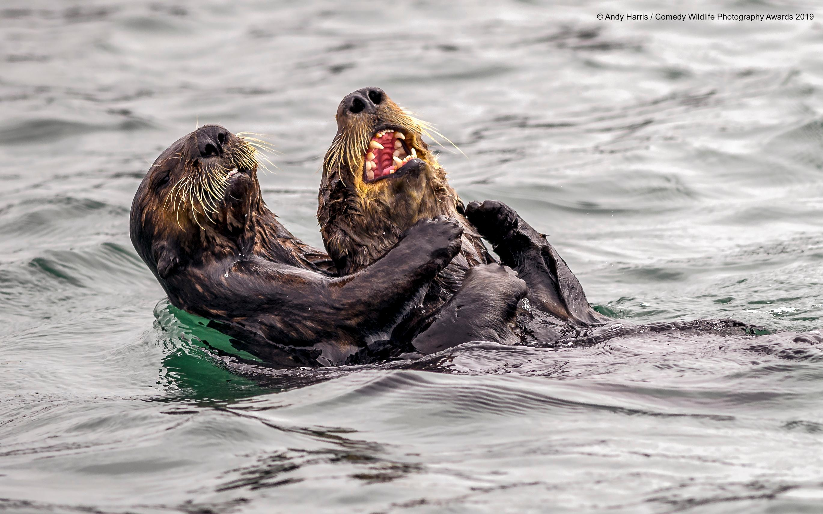 2-andy-harris_sea-otter-tickle-fight_00000064-1568311130076.jpg