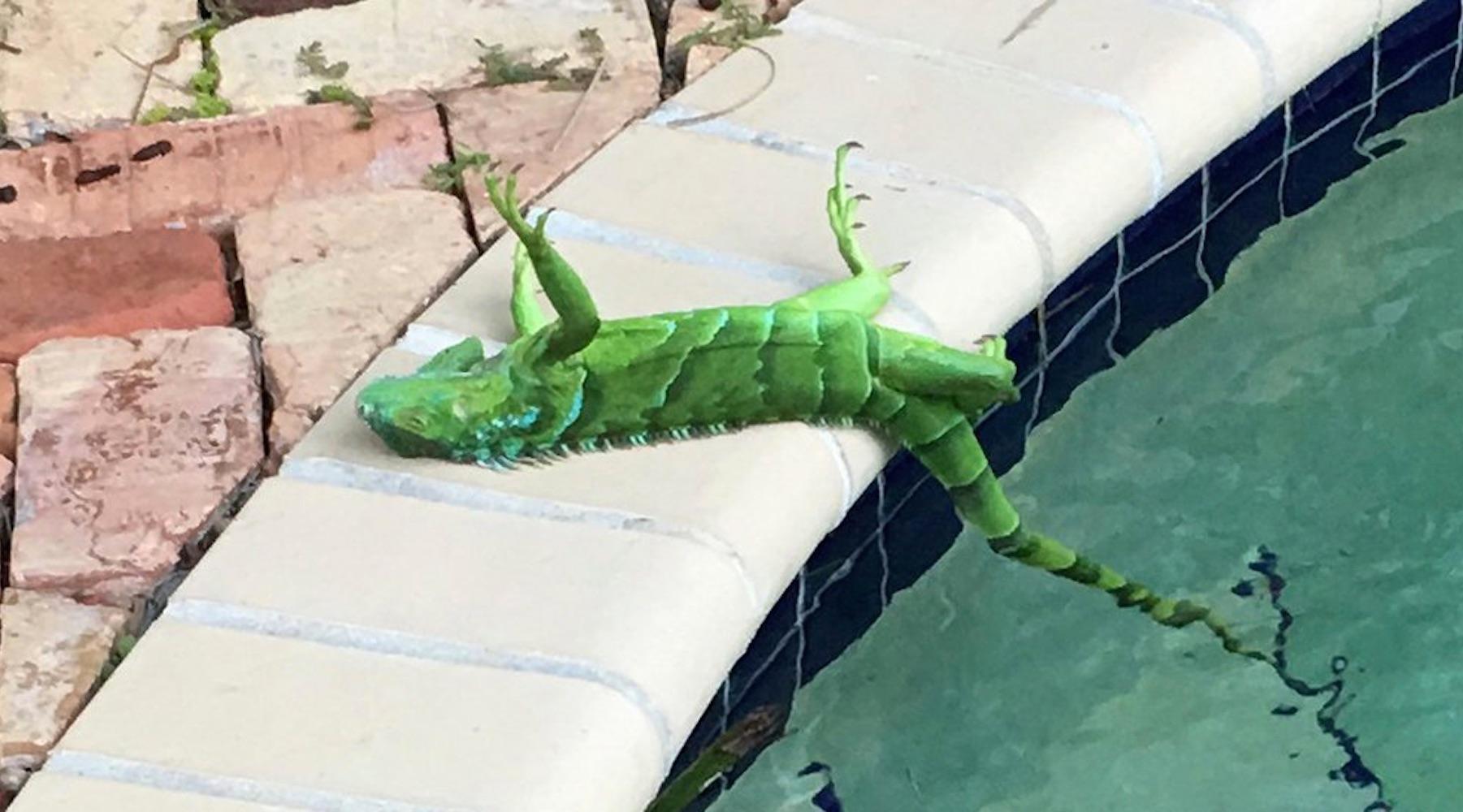 iguana-1515162903819.jpg