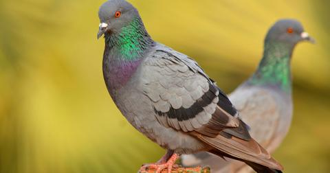 rock-pigeon-picture-id477349720-1553026467063.jpg