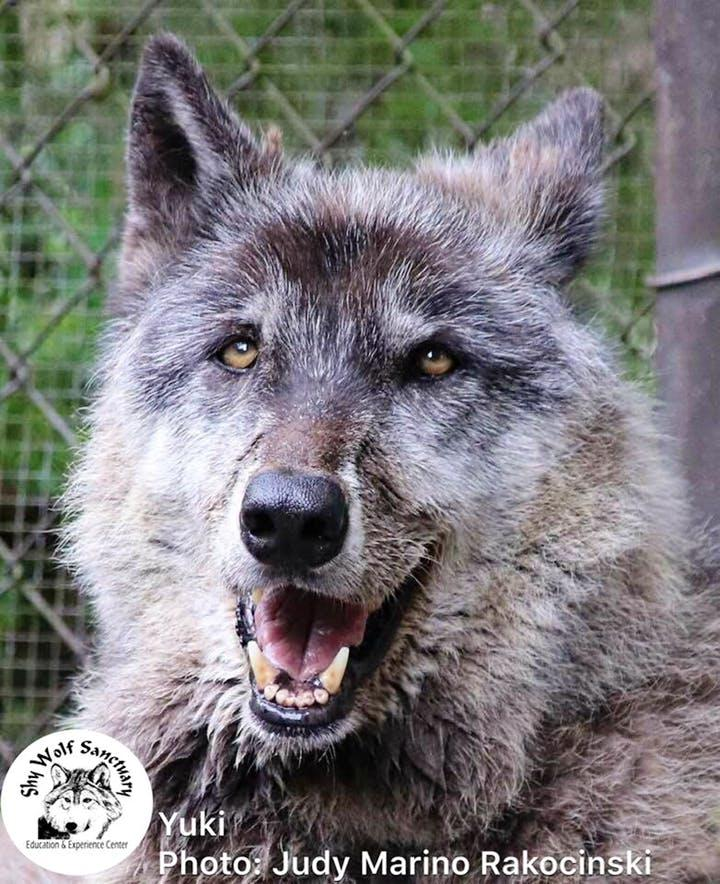 Enormous Wolfdog Rescued by Sanctuary After Being Dropped at