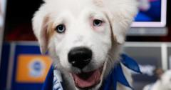 A Team Fluff player from 'Puppy Bowl XVII'