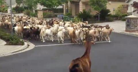 featured-goats-1589404833635.jpg