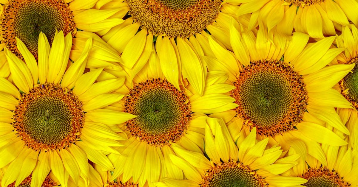 background-autumn-with-sunflowers-closeup-background-of-sunflowers-picture-id1012661662-1534948799350-1534948802511.jpg
