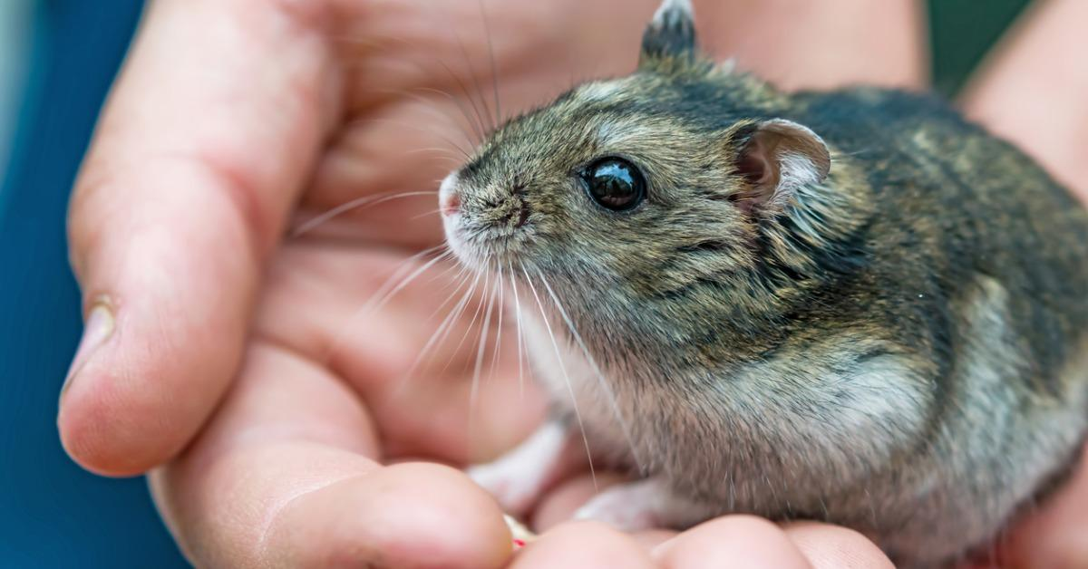 small-pet-hamster-species-phodopus-sungorus-in-the-palm-of-the-boy-picture-id888795448-1539270814673-1539270817048.jpg