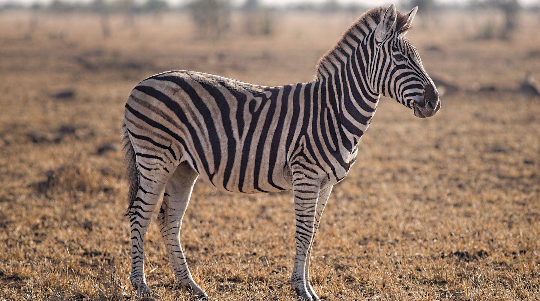 zebra_donkey-1532702694265-1532702696186.jpg
