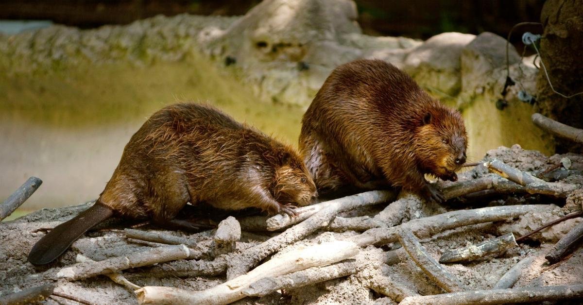 beavers-1534951426009-1534951428658.jpg