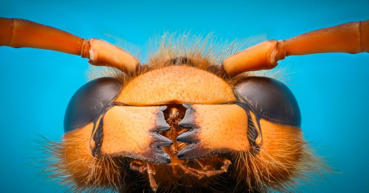 extreme-magnification-giant-wasp-jaws-picture-id636809050-1538410869628-1538410871701.jpg