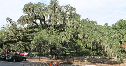 candler-oak-tree-1556653314093.jpg