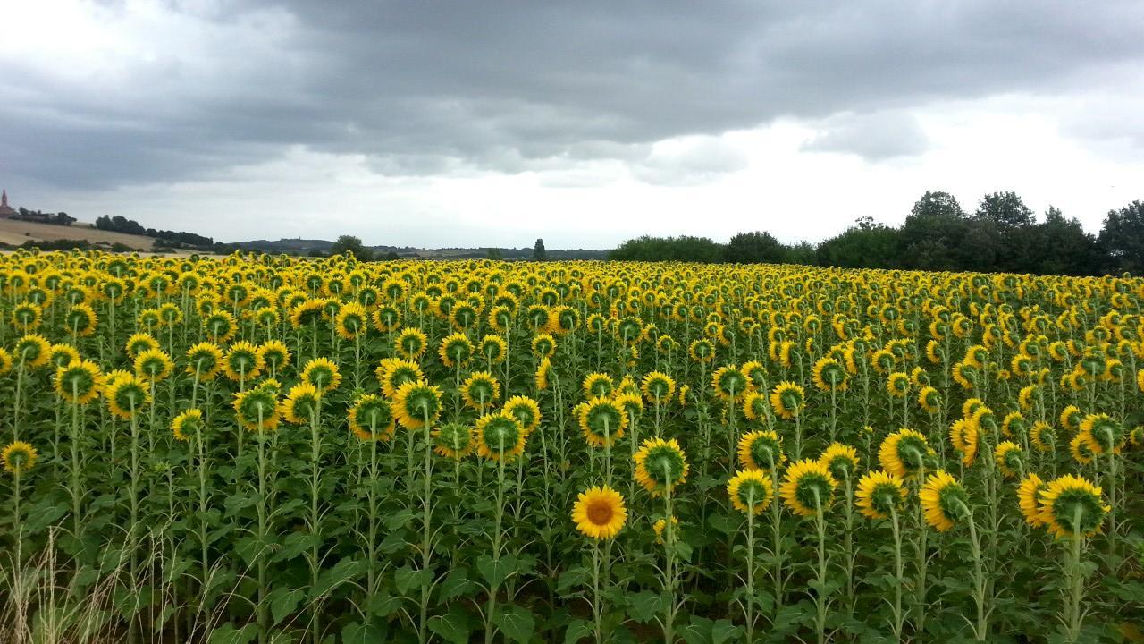 wrong-way-sunflower-1560197450723.jpg