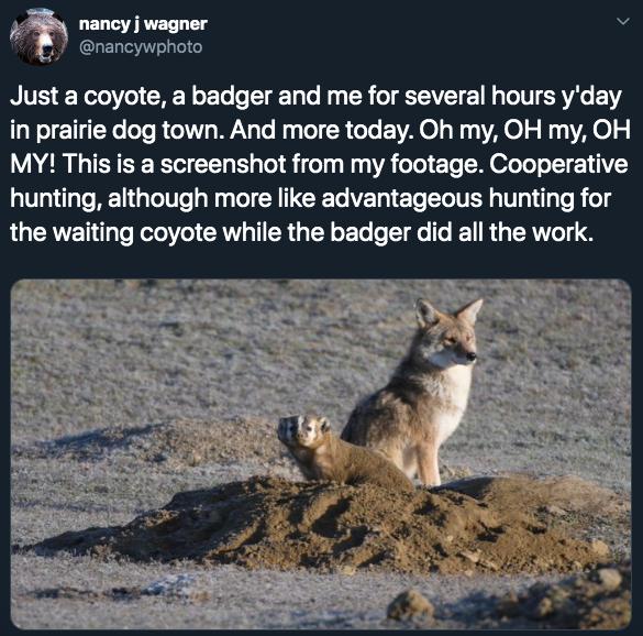 4-coyote-badger-1580927782384.jpg