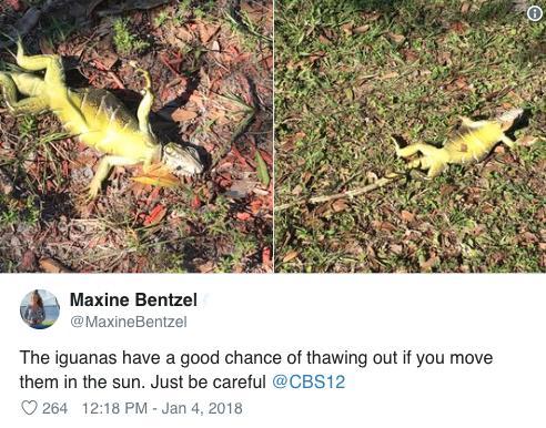iguana-falling-1545932715054.jpg